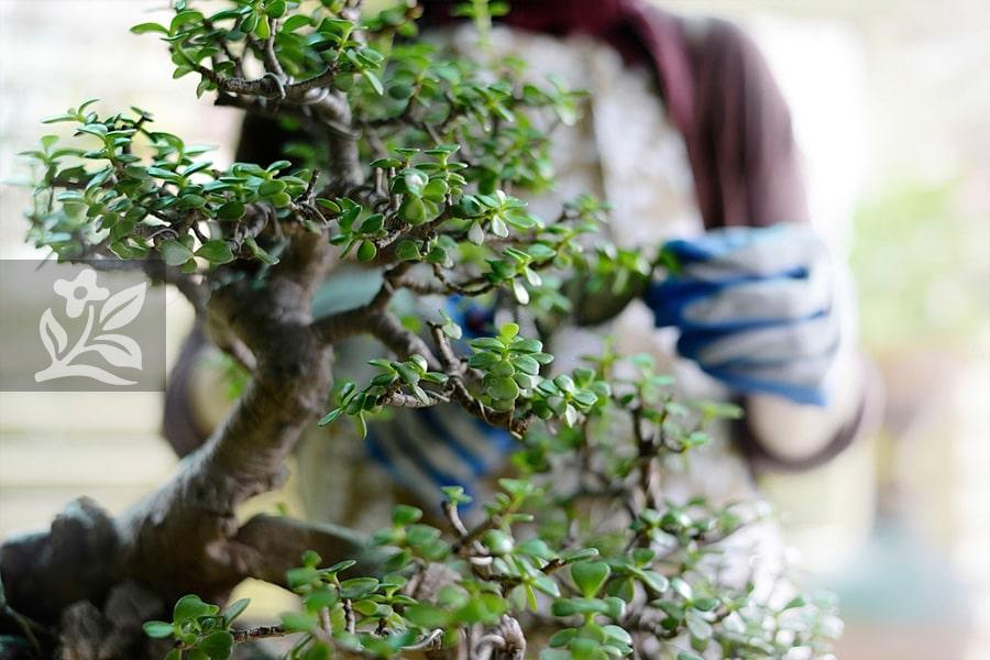 Cắt tỉa đúng kỹ thuật cho một chậu cây cảnh đẹp và hài hòa