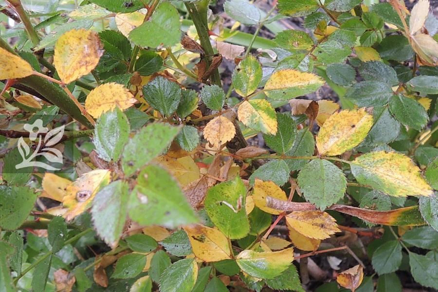 Cây úng nước dẫn đến vàng lá, rụng lá