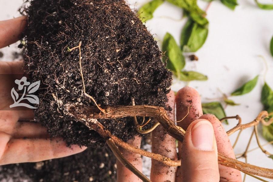 Cây dễ bị úng rễ vào mùa mưa