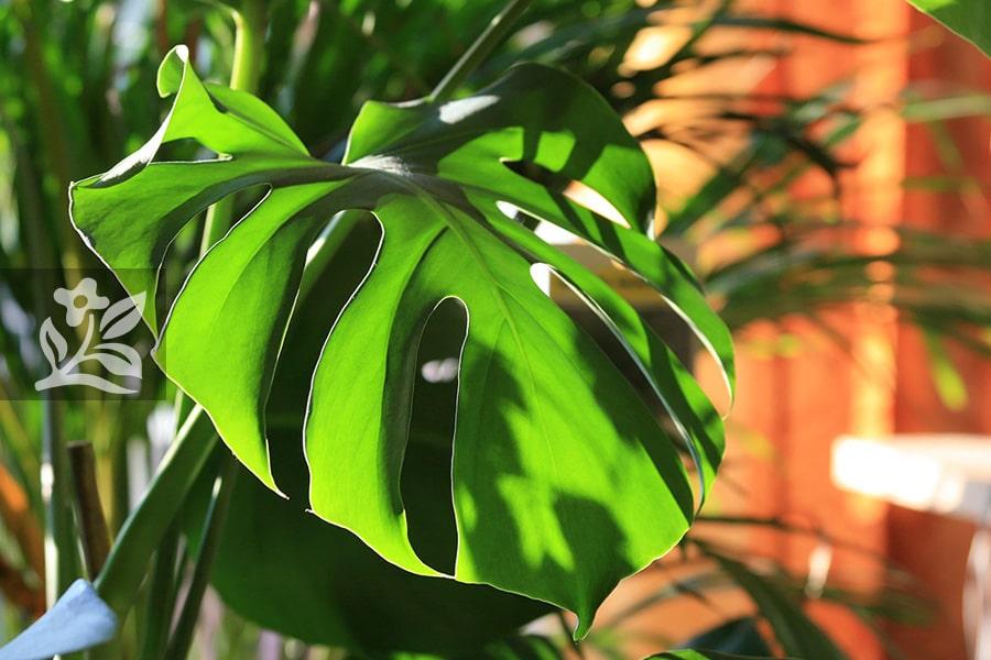 """Một chậu cây đẹp có độ dài lá lý tưởng lên tới 1 mét - Monstera được mệnh danh là """"quái vật rừng xanh"""""""